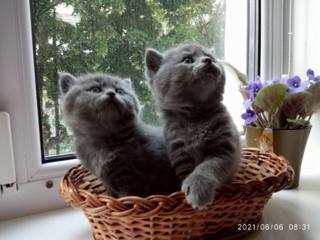 5 котят Scottish fold и Scottish straight.