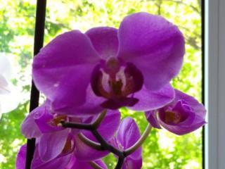 Продам или обменяю на орхидеи другого цвета