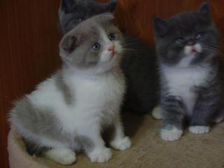 Продаются вислоухие котята