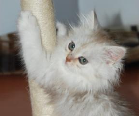 Срочно продам шотландского котенка серебристая шиншилла