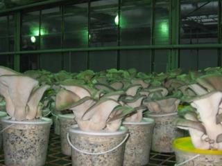 Работа в грибных теплицах. Польша.