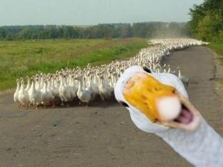 Ферма по выращиванию уток и гусей приглашает работников в Польшу!