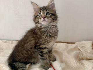 Клубный котенок Мейн-кун