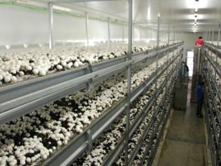 Теплицы - сбор грибов в Польше!