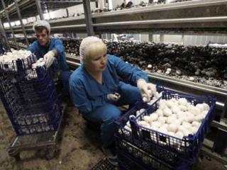 Сбор, сортировка, упаковка грибов Польша!