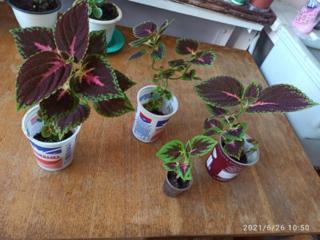 Se vând pui de Aloe, pui de Sansevieria si Coleus