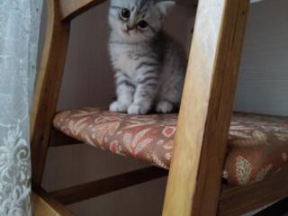 Шотландский-котенок. Продаётся.