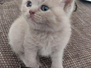 Продам Недорого шотландских котят