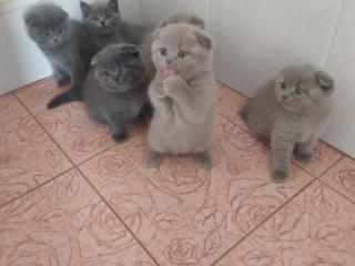 Готовы к продаже шотландские котята.