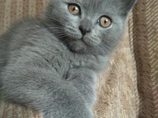 Продается шотландский прямоухий котик