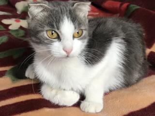 Срочно продам шотландского вислоухого котёнка (девочка)