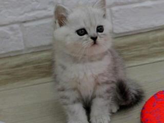 Продам шотландских котяток