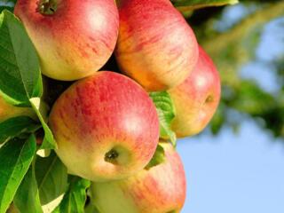 На сбор сливы и яблок