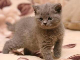 Se vînd motanași/Продaю очень красивых и хороших британских котят!