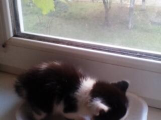 Дарим котенка девочку - комочек счастья