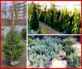 Plante vii, decorative, amenajare gradina. Livrare gratuita