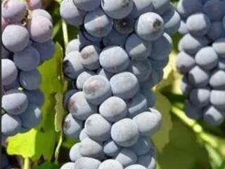Куплю виноград Зайбер