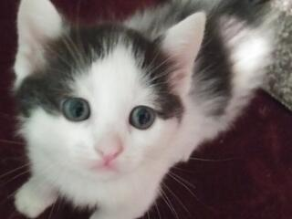 Отдам котяток от шотландских родителей.
