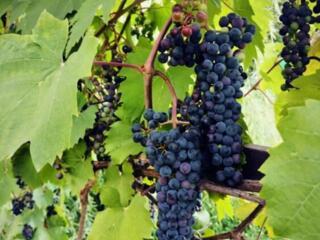 Продам виноград маковей -4 руб.