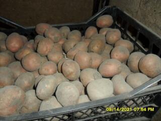 Продаю картошку сорта Алладин, средняя(на семена). с. Протягайловка