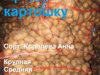 Продам картофель сорт Королева Анна