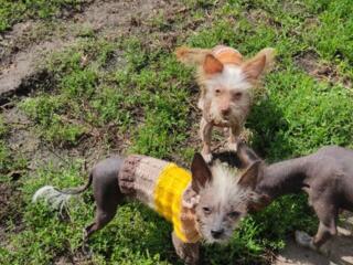 Китайские хохлатые щеночки!!!