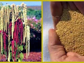 Купуємо товарне насіння амаранту