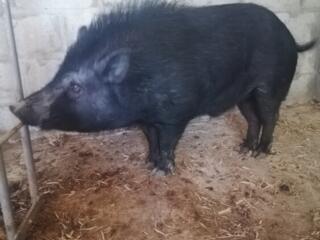 Продам 2 вьетнамские свиноматки и хряка смесь с диким. 1.5 года.
