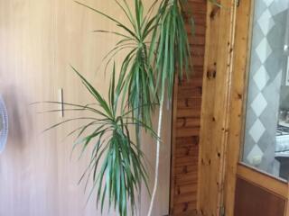 Пальма Драцена, высота 2 метра