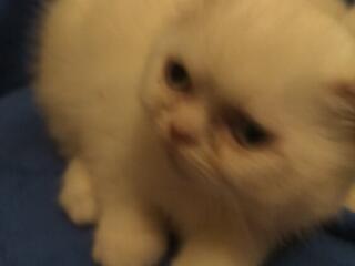 Продам шотланских котят от породистых родителей возраст разный