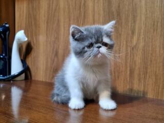 Продаются котята экзоты