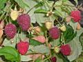 Бендеры. Куст малины 15 руб. Ремонтантаная с ягодами на кустах.
