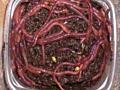 Выращивание черви 78