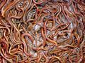 Земляные черви как корм и добавки к корму всем видам птиц и животным,