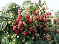 Саженцы малины, смородины, ежевики и ирги, а также рассада клубники