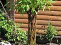 Плетеные деревья из ивы