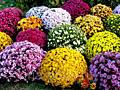 Продам хризантемы мультифлоры шаровидной