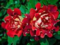 Саженцы роз. 600 сортов
