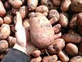 Семенной картофель летней посадки 100% всхожесть.