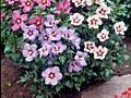 Продаём Гибискус кустарник, Кампсис лиана во дворе красота.