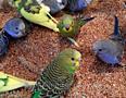 Продаются волнистые попугаи!!!