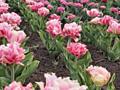 Plante de gradina (lalele, gladiole, clematis, crin)