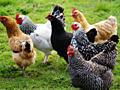 Цыплята подрощенные, мясные, полубройлерные.