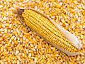Покупаю кукурузу, ячмень и люцерну в малых и больших количествах