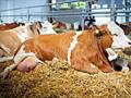 Куплю Коров быков лошади на мясо. Вынужденный забой..