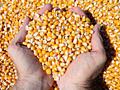 Продам зерно кукурузы 120 кг