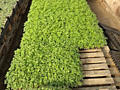 Выращиваем рассаду под заказ в кассетах все гибриды.