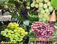 Продам саженцы винограда сорта-Розовая Изабелла, Кеша, Натали, Аркадия