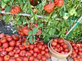Рассада помидор (томатов), перца, гогошар, огурцов, хризантем и астр.