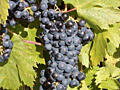 """Продам виноград сорт """"Бако черный"""" (Маковей)"""